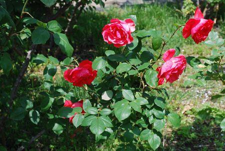 同じ赤でも明らかに異なるバラとわかるローズマリーローズ。